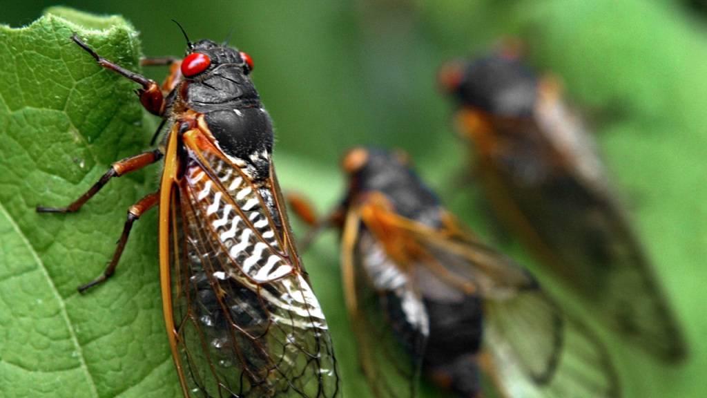 Milliarden Zikaden kriechen ans Tageslicht