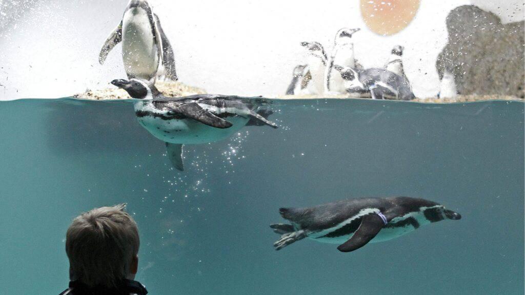 Der Zoo Zürich hält seit 1954 Humboldtpinguine. Momentan leben dort 25 erwachsene Tiere und sechs Junge. (Archivbild)