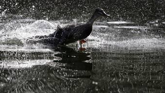 Enten lieben Schweizer Wasser (Symbolbild)