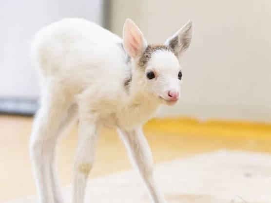 Verwechselgefahr mit einem Geisslein: Das weiss gefärbte Reh als Jungtier in der Auffangstation des Natur- und Tierparks in Goldau SZ.
