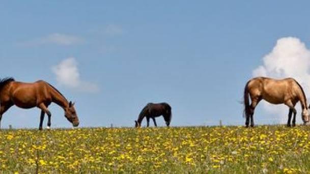 Auf den Bündner Alpen erholten sich mangelernährte Rinder und Pferde des mutmasslichen Tierquälers aus dem Thurgau. (Symbolbild)