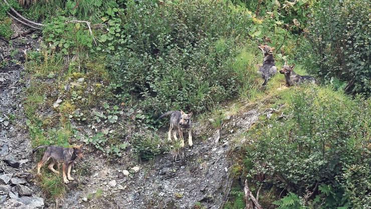 Allein im Kanton Graubünden erhöhte sich die Zahl der Wolfsrudel in diesem Jahr von vier auf sieben.