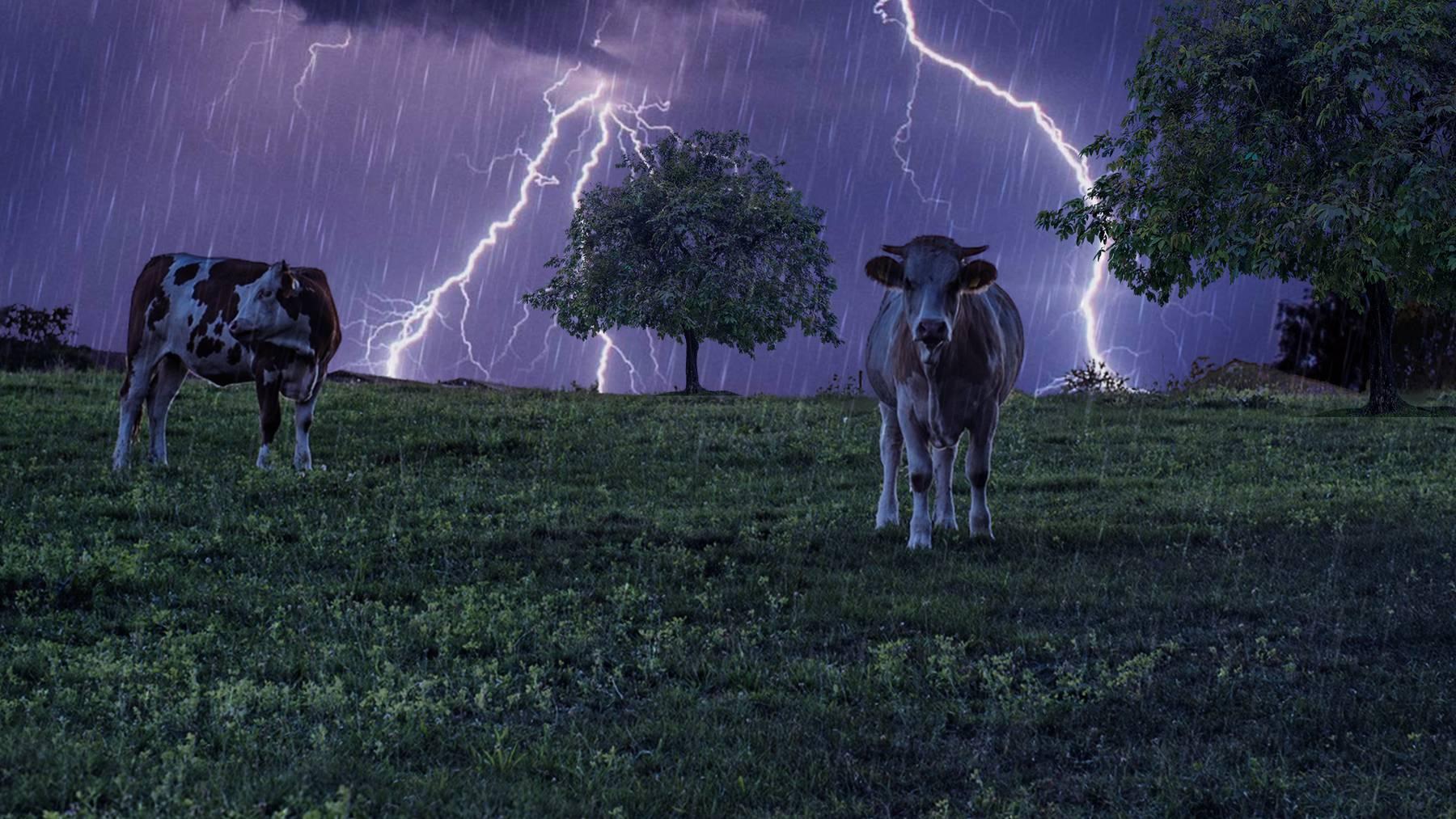 19 Kühe und Kälber von Blitz getötet