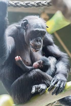 Schimpansin Benga ist eine erfahrene Mutter und kümmert sich fürsorglich um die Kleine.