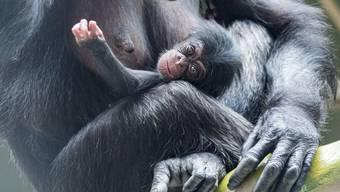 Nachwuchs bei den Schimpansen im Zoo Basel