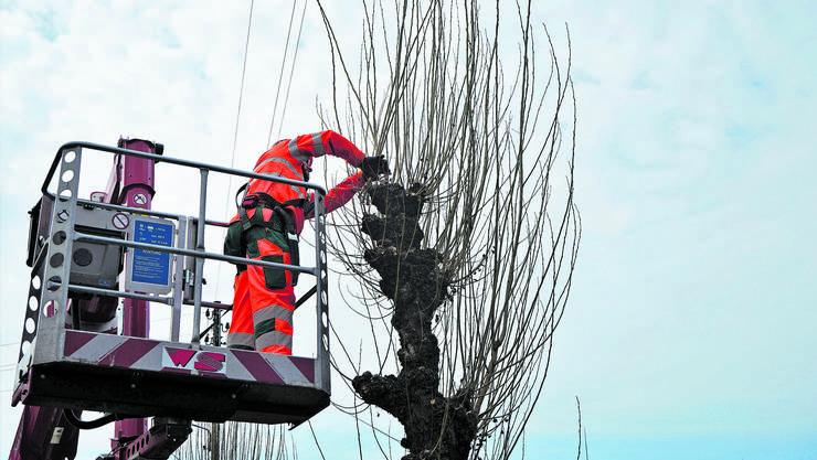 Marcel Maurer schneidet eine Pappel so, dass sie in natürlicher Form weiterwachsen kann. Dann bleibt der Baum am gesündesten.