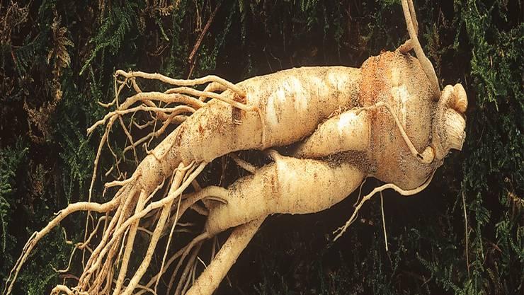 Der Echte Ginseng unterstützt nach langer Krankheit die Genesungsphase.