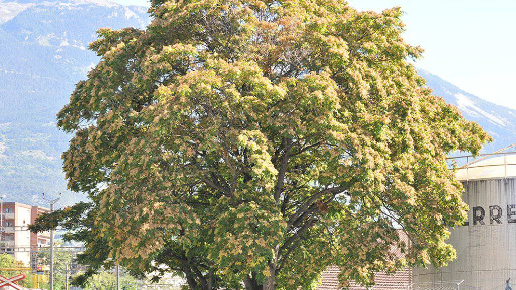 Das Wallis hat dem Götterbaum den Kampf angesagt, denn die gebietsfremde Baumart schadet den einheimischen Wäldern. (Bild: Kanton VS)