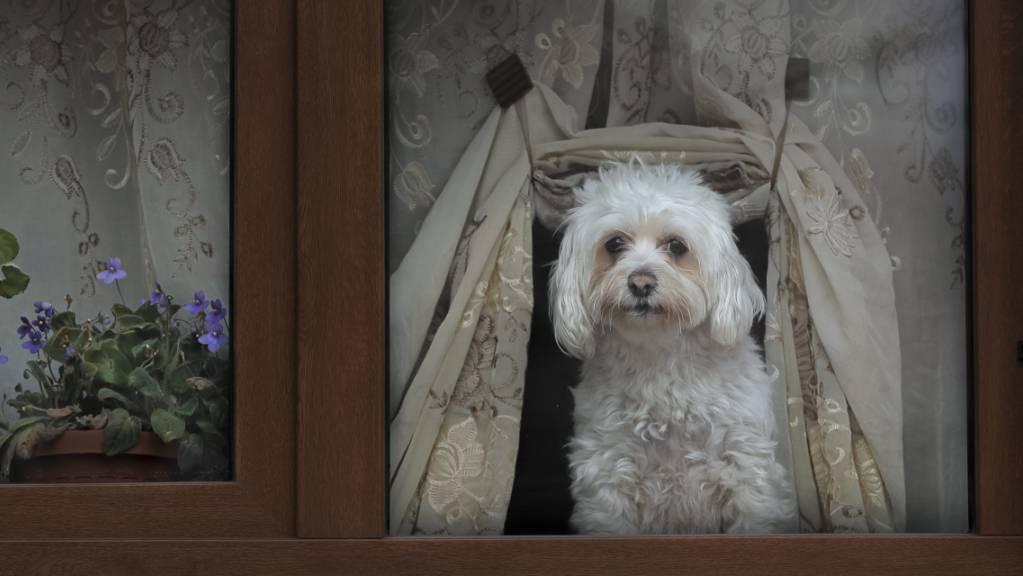 Hunde sollen nur bei seriösen Züchtern gekauft werden. (Symbolbild)
