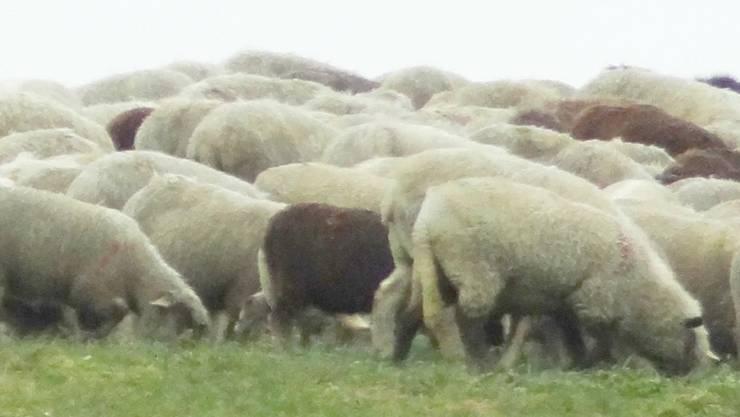 Schafe am Grasen (Symbolbild)