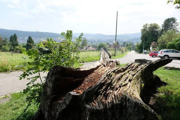Nein, bei der «Dicken Bertha» handelt es sich nicht um eine etwas korpulentere Dame. Überhaupt, sie ist nicht einmal ein menschliches Wesen. Und doch kennt sie jeder in Unterengstringen. Ihren Platz hat sie oberhalb des Dorfes gefunden, am Waldeingang beim Maienbrunnen. Früher stand sie an der Sparrenbergstrasse und war eine mächtige Eiche, die im Jahr 1949 unter Naturschutz gestellt wurde. Der imposante Baum dürfte einiges erlebt haben, ehe er am 5. Februar 1977 infolge anhaltender Regenfälle umstürzte, die Strasse versperrte und die Mauer eines Hauses zerstörte. Weil der riesige Stamm nicht als Nutzholz verwendet werden konnte, wurde er beim Waldeingang platziert und dient seither als Kletterbaum für Kinder. Am Ende ihres Lebens war die imposante Eiche mindestens 185 Jahre alt. Einen Namen trug sie, weil sie als ein besonders wertvoller Baum galt und daher der Tradition folgend getauft wurde. Namensgeberin war die zweite Frau von Eduard Heinrich Landolt, der einst auf dem nahe gelegenen Gut Sparrenberg wohnte.