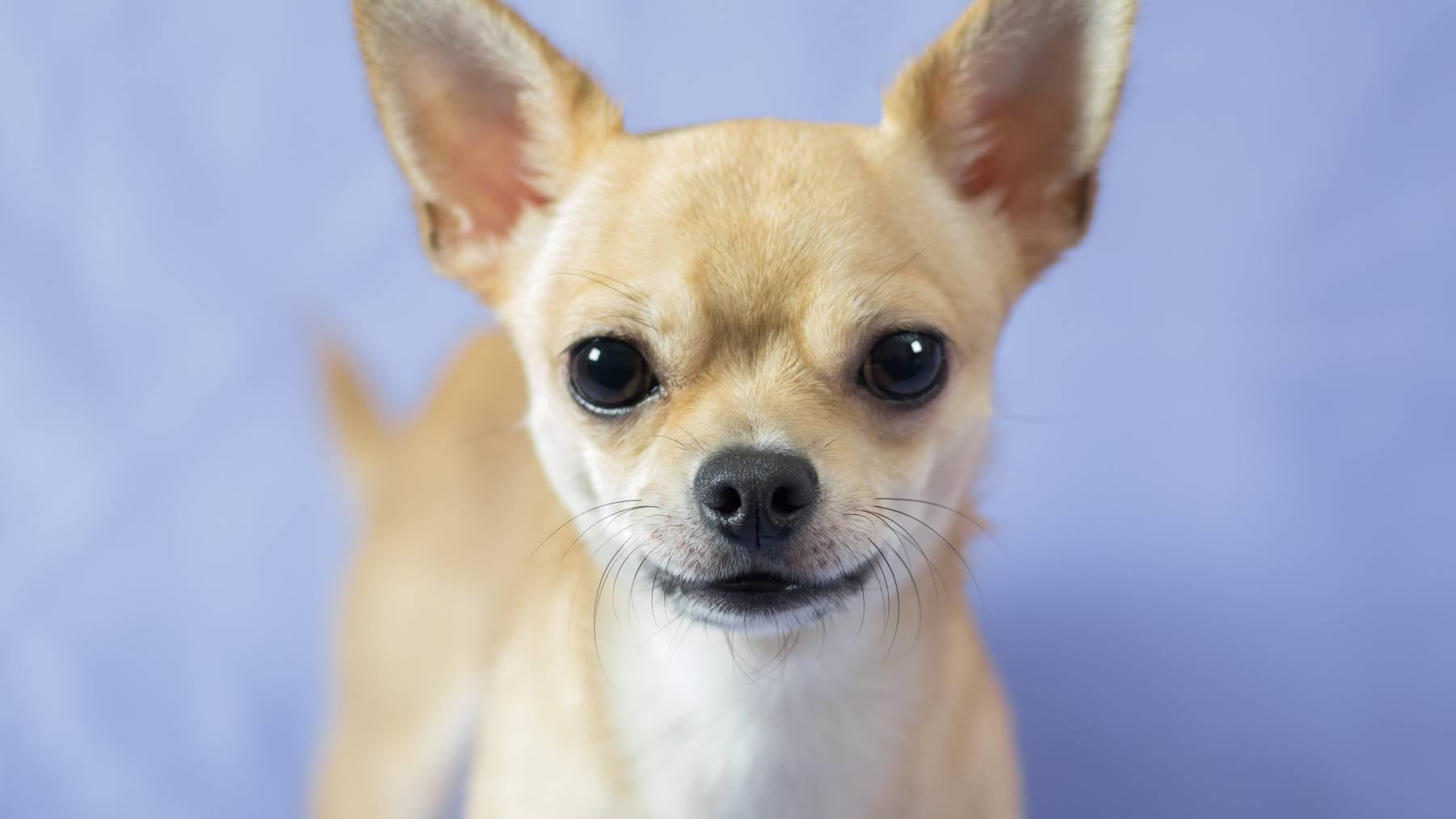 Klein aber oho - der Chihuahua ist besonders beliebt in St.Gallen.