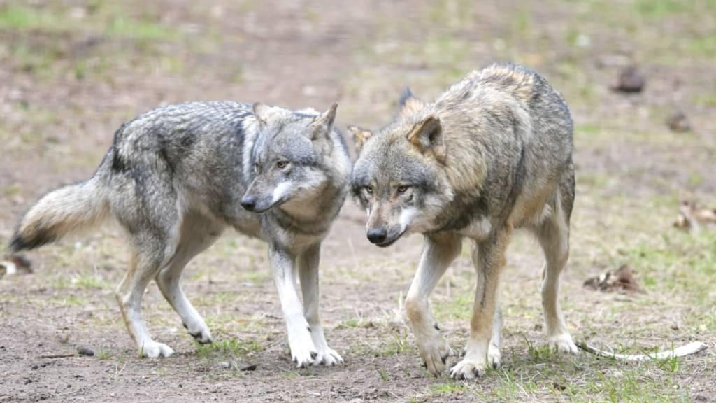 Schreckmoment: Wölfe nähern sich Wanderern bis auf zehn Meter