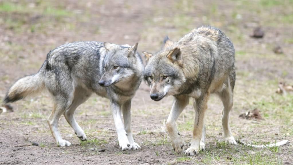 Die beiden erwachsenen Wölfe näherten sich den Wanderern bis auf zehn Meter und einige Welpen folgten der Gruppe gar. (Symbolbild)