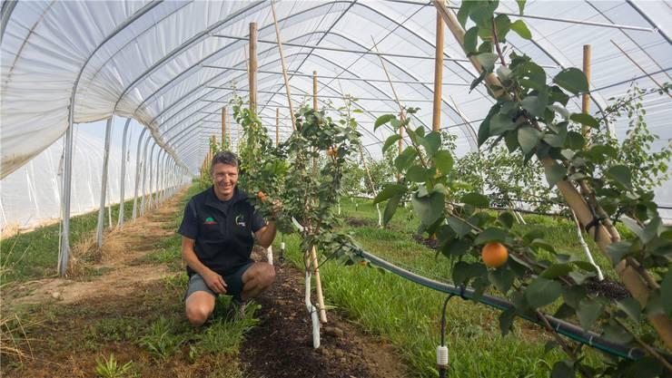 Urs Baur hat auf seinem Eichhof in Egliswil unter langen Folientunnels eine grosse Anbaufläche für Aprikosen geschaffen.
