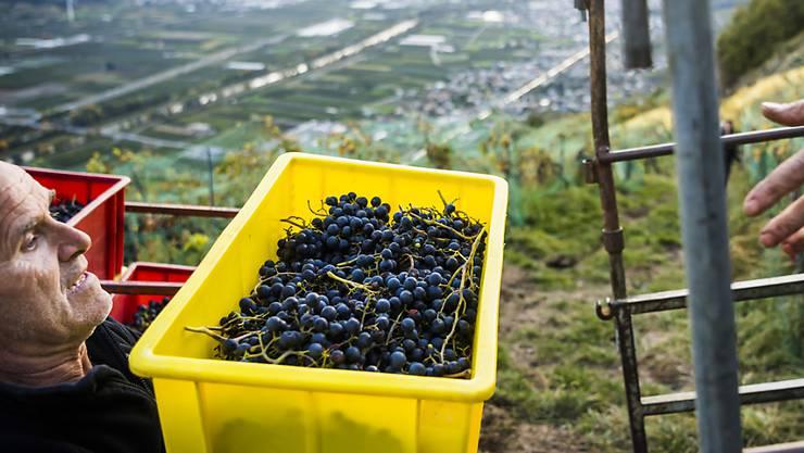 Im Wallis ist die Lese der spätreifen Rotweinsorte Chambourcin noch im Gang.