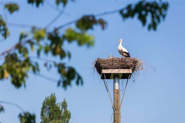 Hier thront der Storch in seinem Nest.