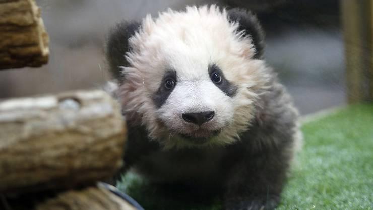 Das Panda-Baby Yuang Meng im Zoo von Beauval während der Taufzeremonie.