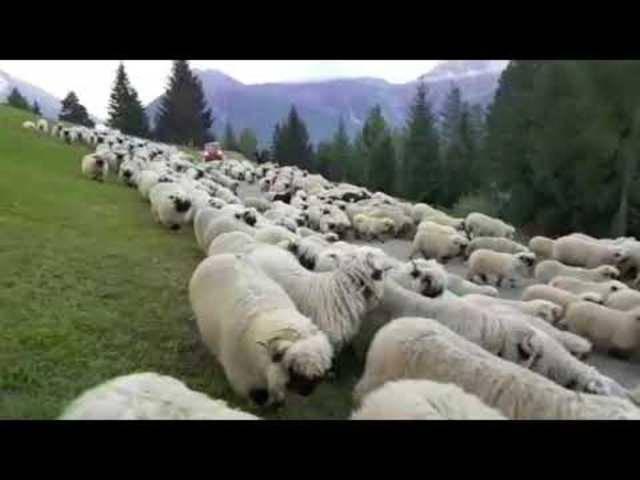 Walliser Schwarznasenschafe auf dem Weg vom Fleschboden nach Termen und Ried-Brig