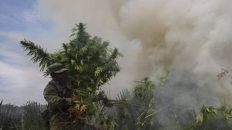 Bald wird es in Mexiko keine Zerstörung von Marihuana im grossen Stil mehr geben - Mexikos Parlament spricht sich für ein Marihuana-Freigabe für medizinische Zwecke aus. (Archivbild)