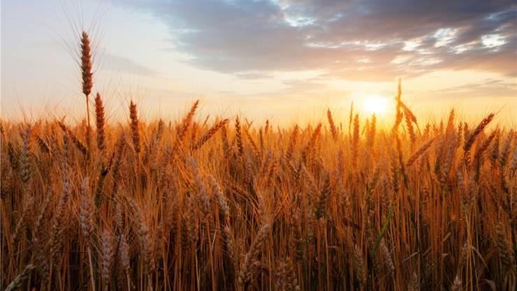 Schön, aber gefährlich: Wer an Zöliakie leidet, macht einen grossen Bogen um Weizen. iStockphoto