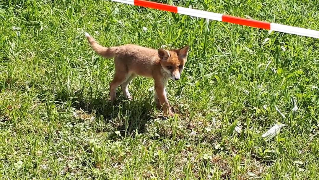 Fuchsfamilie nimmt Klingnauer Schulareal in Beschlag