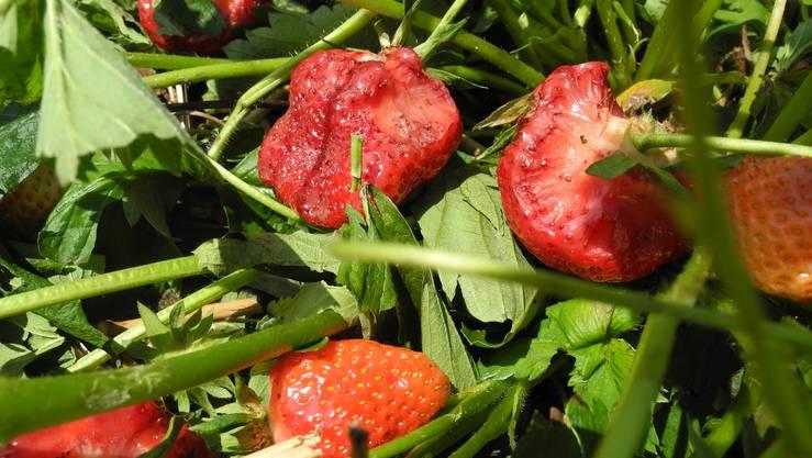 Die Erdbeeren sehen aus, als wären sie von Schnecken angefressen worden.