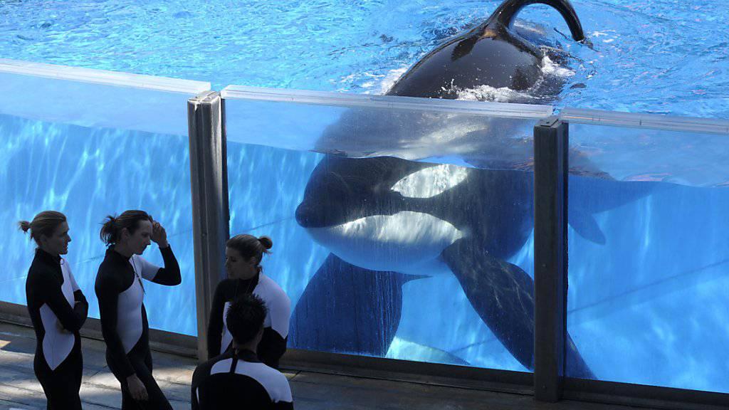 Der Orca Tilikum im SeaWorld in Orlando im jahr 2011.