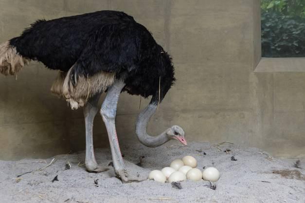 Die Balz Ende Oktober war wegen der urtümlichen, hupenden Rufe weitherum zu hören. Noch bevor das letzte Ei gelegt war, setzte sich der Hahn auf das Gelege und begann zu brüten.