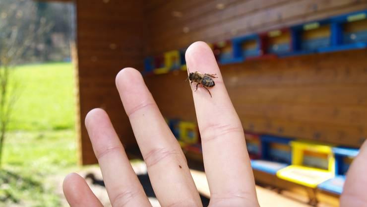 Trotz Völkersterben gibt es sie noch, die Bienen. Eine neue Fachstelle soll dafür sorgen, dass das auch in Zukunft so bleibt.  Archiv/Andrea Weibel