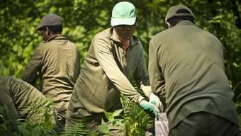 Asylsuchende bekaempfen Neophyten im lenzbuger Wald.