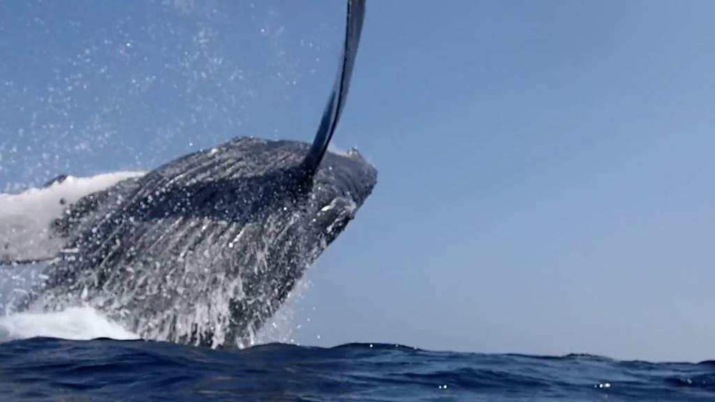 Hier werden Schnorchler beinahe von einem Wal erschlagen
