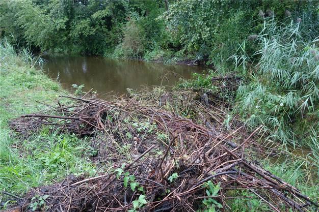 Wegen des Biber-Damms steigt der Wasserpegel im Unterrütikanal Merenschwand auf über einen Meter und die Drainagen aus den angrenzenden Feldern können nicht mehr abfliessen.