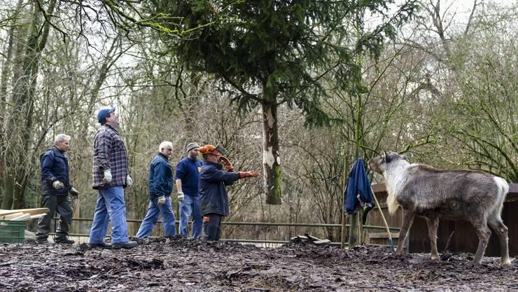 Gärtner bringen die Bäume zu den Tieren