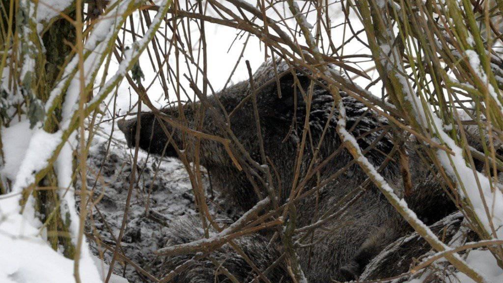 Dieses Lebewesen versteckte sich eben gerade nicht im Maisfeld. (Archivbild)