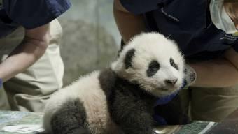 HANDOUT - Das Pandababy wird im Smithsonian National Zoological Park von Pflegern betreut. Der am 21. August geborene Pandajunge trägt den Namen Xiao Qi Ji, was in Mandarin-Chinesisch «kleines Wunder» bedeutet. Foto: -/Smithsonian's National Zoo/AP/dpa - ACHTUNG: Nur zur redaktionellen Verwendung im Zusammenhang mit der aktuellen Berichterstattung und nur mit vollständiger Nennung des vorstehenden Credits. Verwendung nur bis zum 07.12.2020.