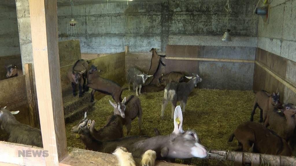26 Ziegen gestohlen: Von den Tätern fehlt jede Spur