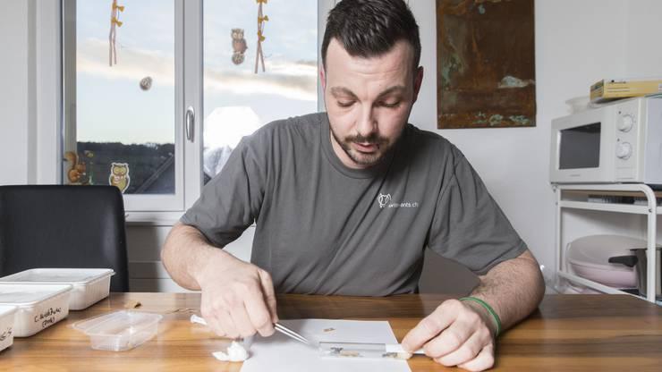 Marc Erne beim Füttern einer Ameise. Auf der Pinzette liegt ein Blatt mit Zuckerwasser.
