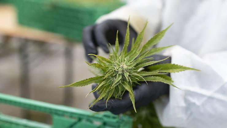CBD-Hanf kann legal angebaut und konsumiert werden. (Archivbild)