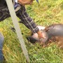 In Unterkulm wurden zwei Schafe gerissen. Dahinter wird ein Hund mit Jagdinstinkt vermutet, die Polizei sucht nun Augenzeugen.