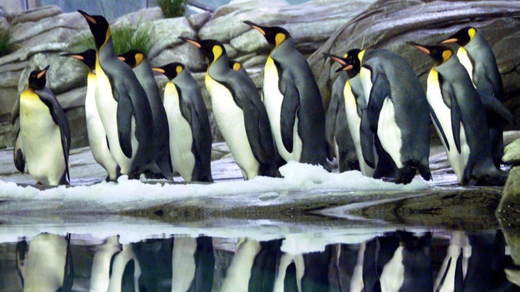 Königspinguine in der Antarktis setzen über Kot Lachgas frei