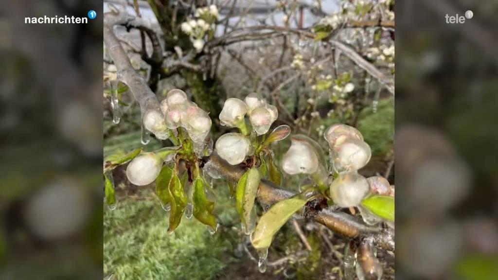 Obstverband reagiert auf Häufung von Frostgefahr im Frühling