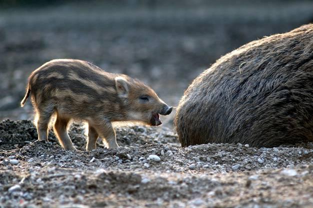 Letzte Woche haben die Wildschweine zum zweiten Mal in diesem Jahr Jungtiere bekommen.