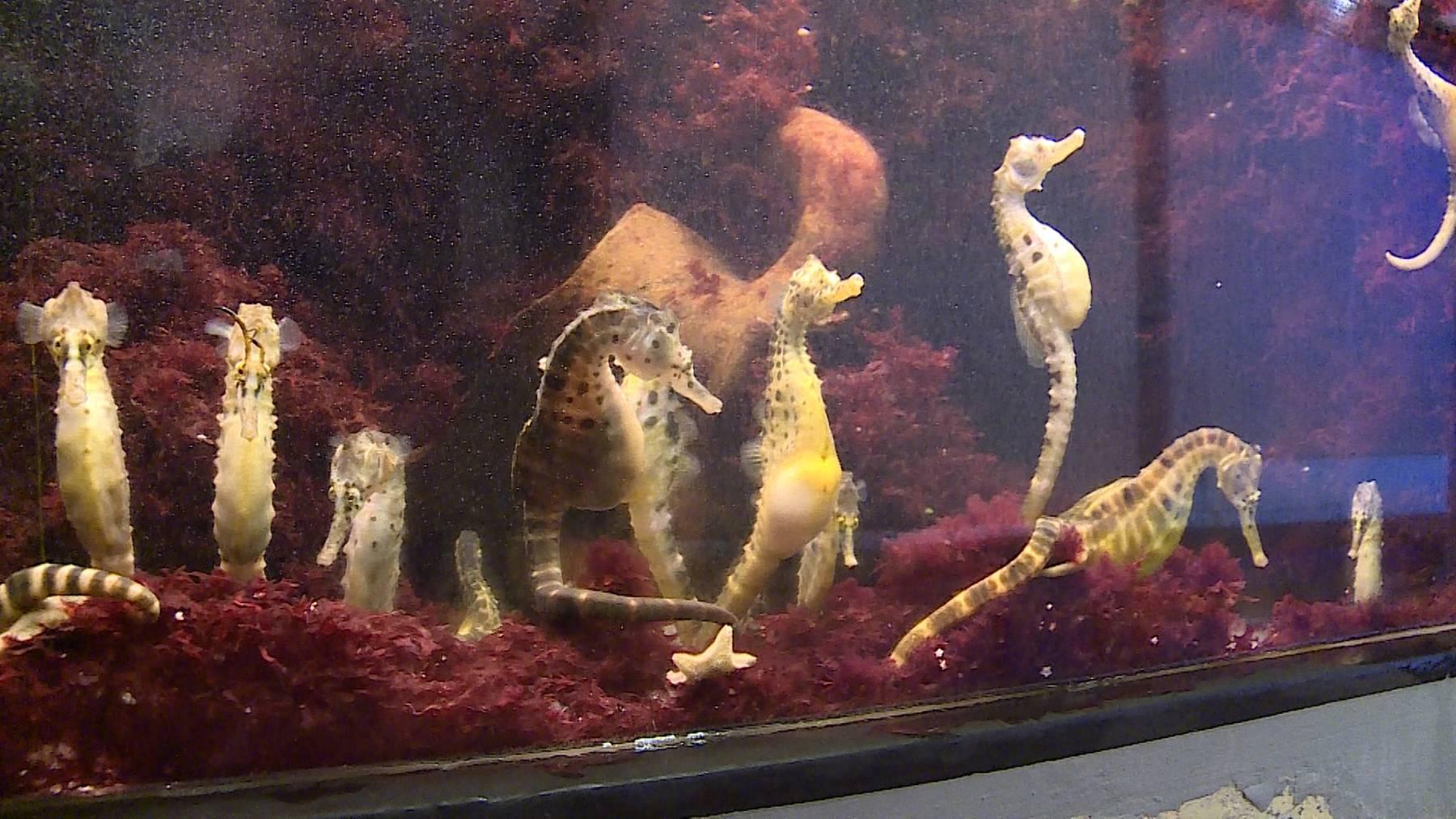 Seepferdchen und ihre Rolle als Männchen