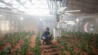 Auf einer Mischung von Marsstaub und menschlichen Fäkalien baut Matt Damon im Film «Der Marsianer» Kartoffeln an.