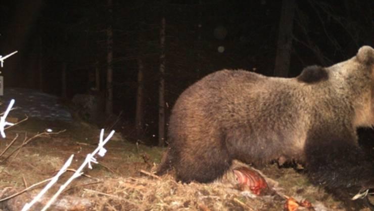 Der im Puschlav beobachtete Braunbär, der sich über eine Hirsch hermachte und in eine Fotofalle tappte.