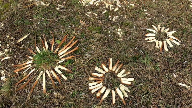 Biber-Blumen! Hier hatte jemand an der Aare in Rohr AG ein Mandala aus Holzspänen gemacht, die ein Biber beim Bäume fällen hat liegen lassen.