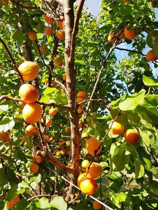 Aprikosen, Nektarinen, Äpfel und Birnen gedeihen prächtig – jetzt testet Ueli auch Avocados.