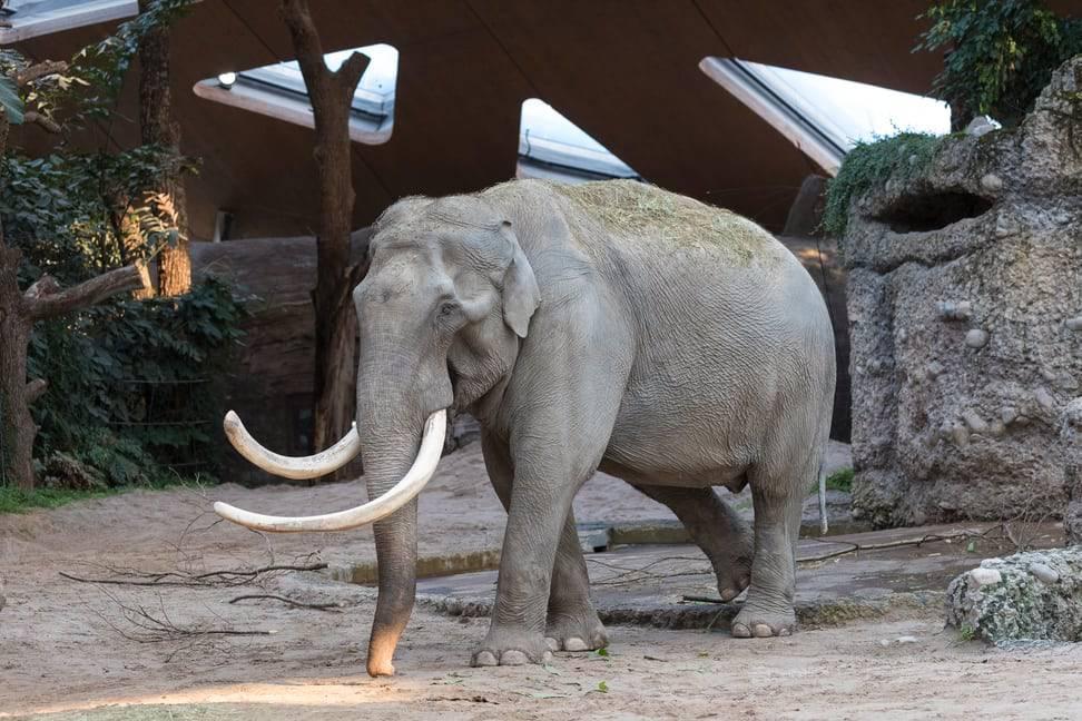 Elefantenbulle Maxi feiert seinen 50.Geburtstag. (© Zoo Zürich/Enzo Franchini)