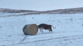 Oh, das macht aber Spass: Diese Kuh ist ganz aus dem Häuschen über ihre neue Entdeckung.